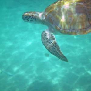 2011_03_07_Barbados_Cat_Turtle_Cruise_Turtle_1